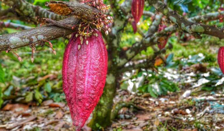Malagos Chocolate Recognized as 'Heirloom Cacao' in US
