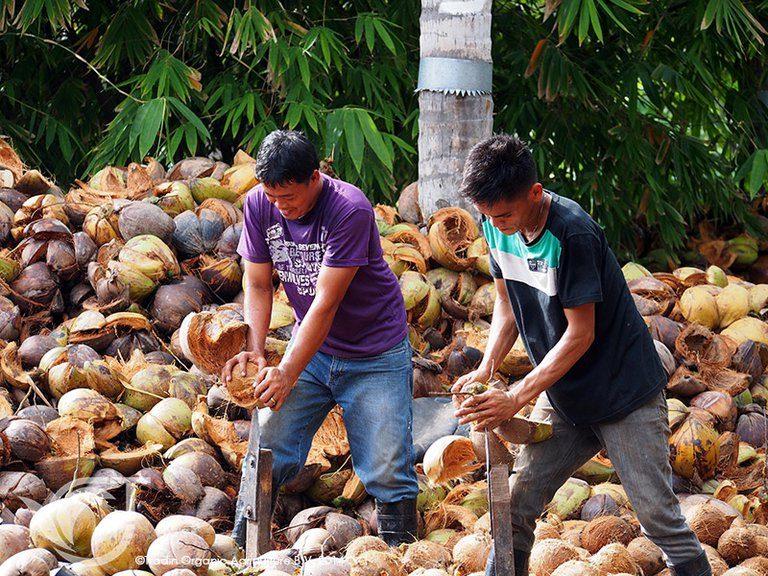 coconut in Manila