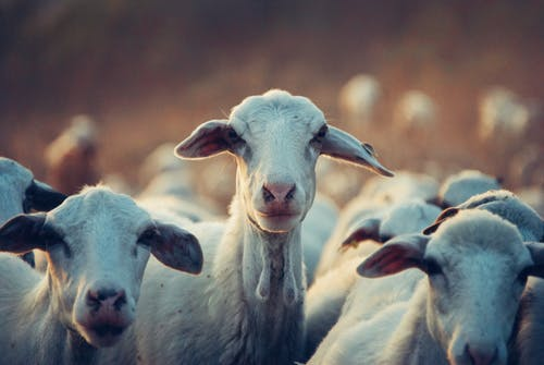 Agri-Opportunity:High Demand of Goat Meat