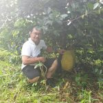 cultivation of abuyog sweet jackfruit
