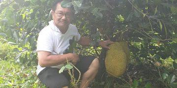 cultivation of abuyog sweet jackfruit