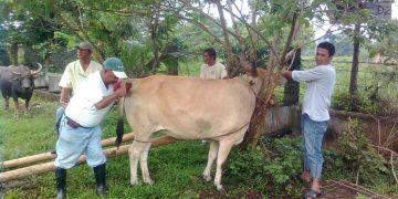 cattle upgrading assistance