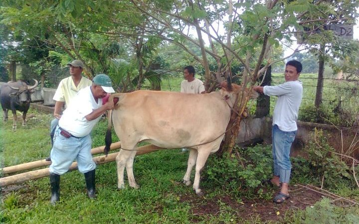 Farmers Benefit from Cattle Upgrading Assistance Project
