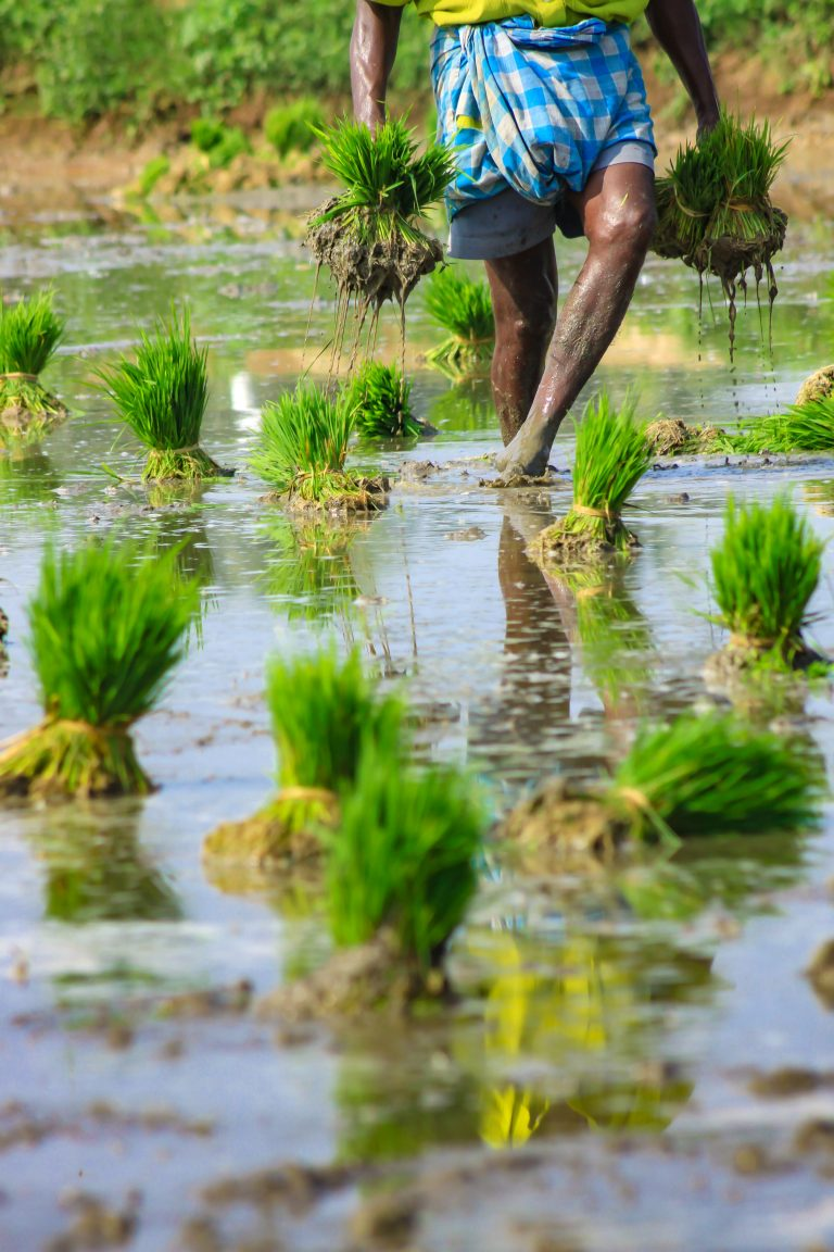 cash assistance for rice farmers