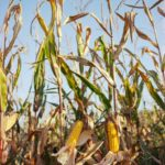 weather-based crop insurance