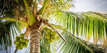 coconut exports