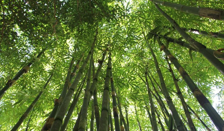 PH Soon to Promote the Development of Bamboo Industry