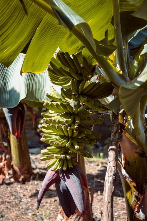 philippine banana exports