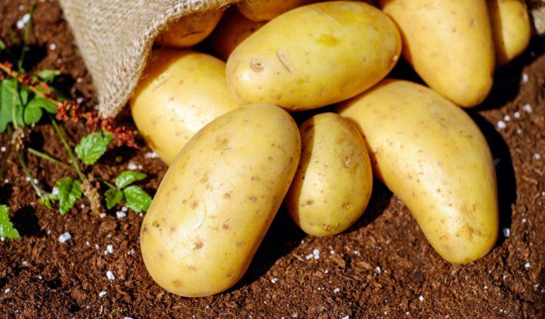 URC and DA Boost Potato Farming in Miarayon