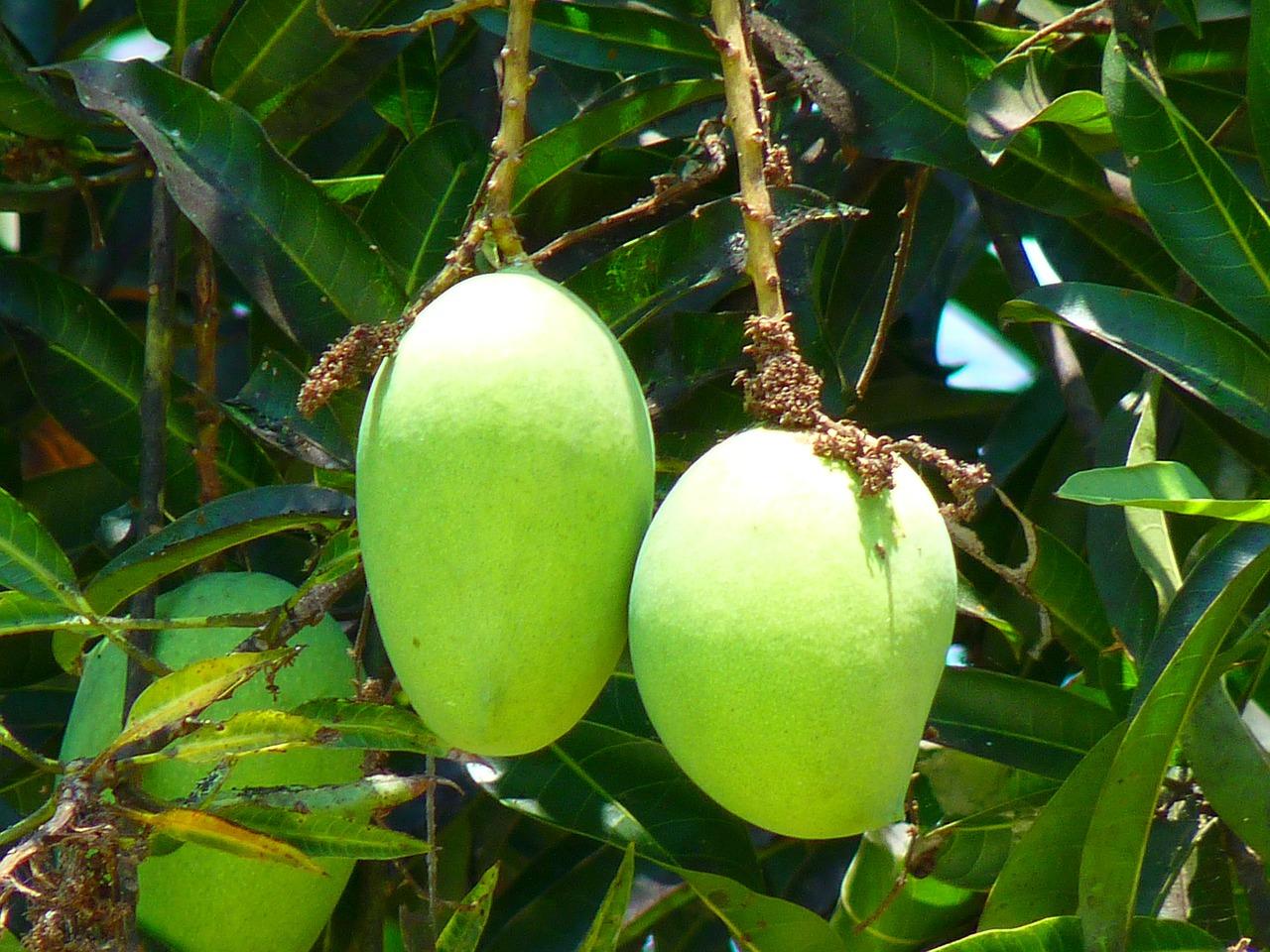 mango exports in davao del sur