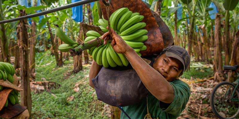 banana exporter