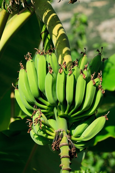 banana industry in the Philippines