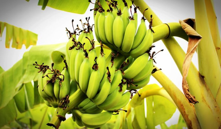 DA and Banana Industry Stakeholders to Combat Panama