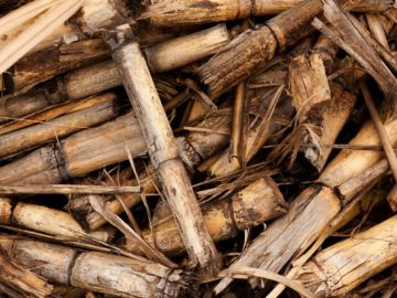 sugarcane as animal feedss