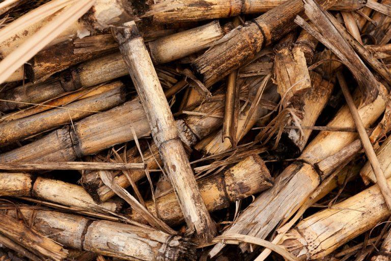 sugarcane as animal feedss