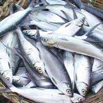 milkfish production