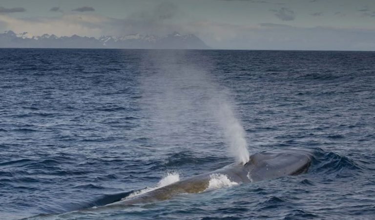 The Return of the Blue Whales